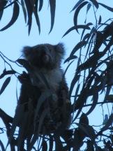 Wild Koalas!